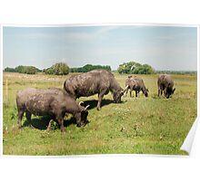 Water Buffalos Grazing  Poster