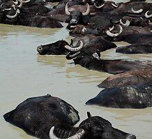 Water Buffalo Wallowing in Mud, Hungary  by jojobob