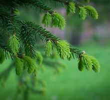 pine branch by Keyboart
