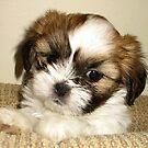 Cute Pup by Sviatlana