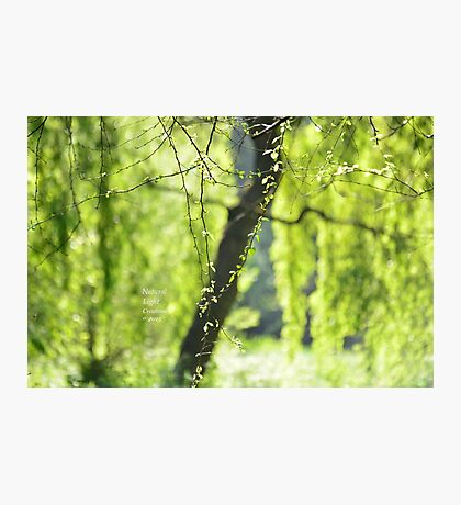 """ The Dreaming Willow "" Photographic Print"