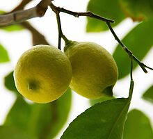 Lemon tree. II by Bluesrose