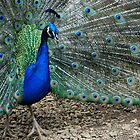 Peacock Blue by Marjorie Wallace