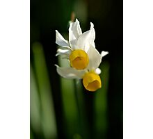 Double Daffodil Photographic Print