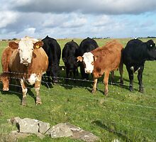 Cows in field, brown and black by Kayleigh Lamb