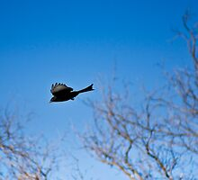 Forked-Tailed Drongo in Flight by RatManDude