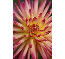 Peach and Red Dahlia  Photographic Print