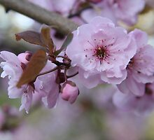 Plum blossoms by TerrillWelch