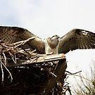 Juvenile Osprey Wingspread by byronbackyard