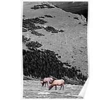 Grazing on Black and White Poster