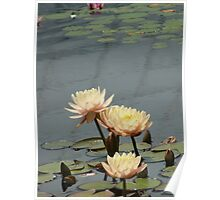 Peach Waterlilies Poster
