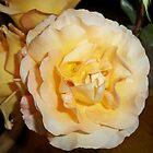 Dortheys PEACH ROSE by Diane Trummer Sullivan