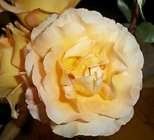 Dortheys PEACH ROSE by kodakcameragirl
