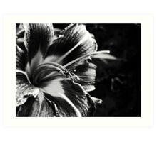 Lily in Mono Art Print