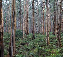 Boranup Forest  by Karry Smith