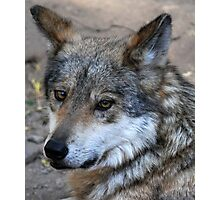 Its the Big Bad Wolf and he's looking good. Photographic Print