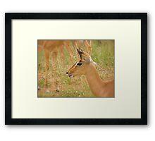 alert impala Framed Print