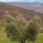 Olive Tree, Tuscany  by jojobob