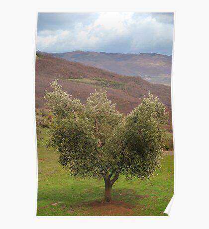 Olive Tree, Tuscany  Poster