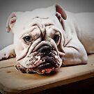 English Bulldog by Carlos Restrepo