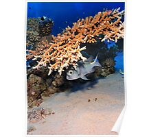 Bigeye Emperorfish under a table coral Poster