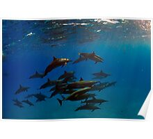 A school of bottlenose dolphins in Sataya Reef Poster