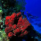 Red sponge with a diver by Aziz T. Saltik