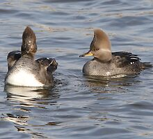 A Pair Of Female Hooded Merganser by DigitallyStill
