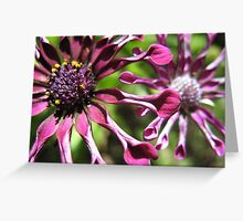 South African Daisies Greeting Card