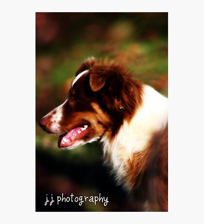 Josey Australian Shepherd Photographic Print