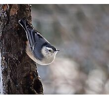 Nuthatch Photographic Print