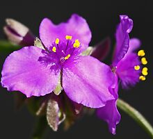 Prarie Spiderwort by LauraBroussard