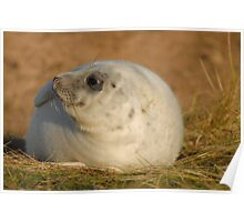 Young seal Poster