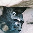 racoon plays hide and seek by johntbell