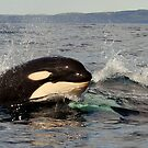 Orca calf by DebYoung