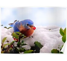 Bluebird and Berry Poster
