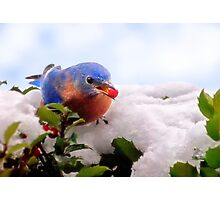 Bluebird and Berry Photographic Print