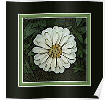 Cream White Zinnia Flower Artwork Poster