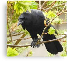 Crow in the Mountain Ash Canvas Print