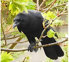 Crow in the Mountain Ash Photographic Print