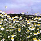 Daisy field in the evening... by Barrie Daniels