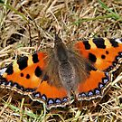 Tortoiseshell in the grass by relayer51