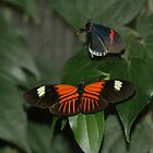 Tropical butterflies by John Martin