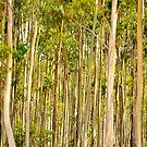 Gum Trees Cape Le Grande National Park by Citrusali