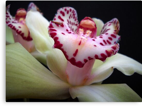 Orchids. by Vitta