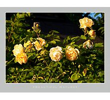 Beautiful  Nature: Roses - 6 Photographic Print