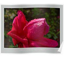 Beautiful  Nature: Roses - 7 Poster