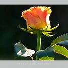 Beautiful  Nature: Roses - 9 by houk