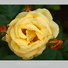 Beautiful  Nature: Roses - 10 by houk