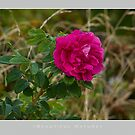 Beautiful  Nature: Roses - 12 by houk